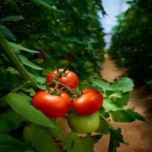 Tomaten Dünger